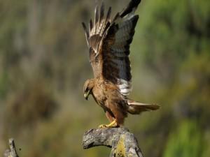 Águila lista para emprender su vuelo