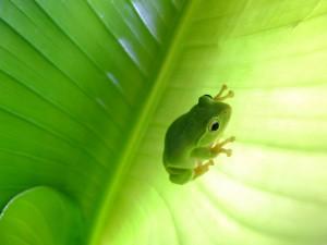 Pequeña rana escondida en una hoja verde