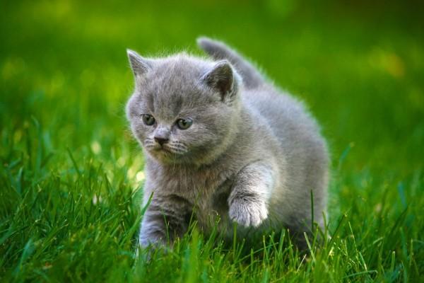 Un bello gatito gris caminando sobre la hierba