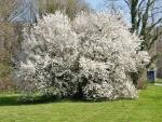 Árbol repleto de flores blancas