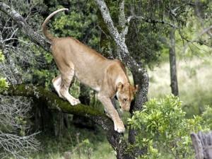 Postal: Una leona sobre las ramas de un árbol