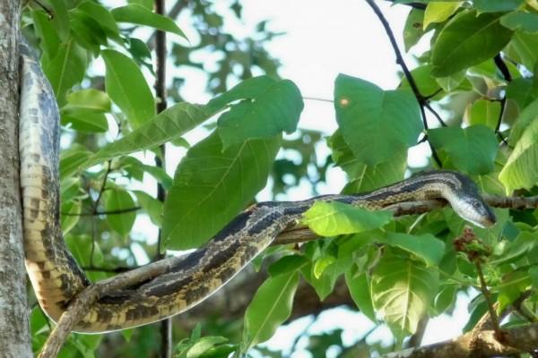 Una serpiente entre las ramas y hojas de un árbol