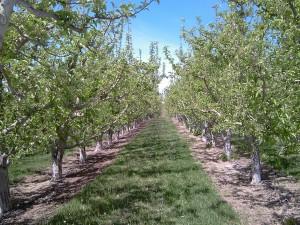 Campo de manzanos