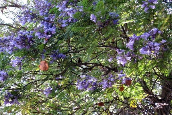 Árbol con flores de color lila