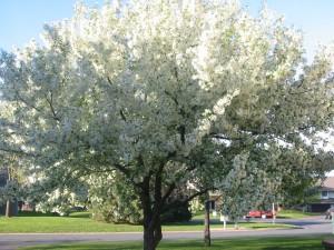 Un árbol con flores blancas iluminadas por el sol