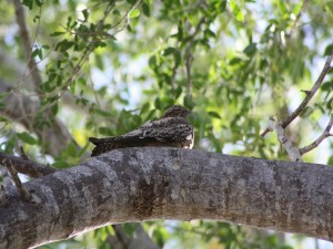 Postal: Querequeté adormilado sobre un árbol