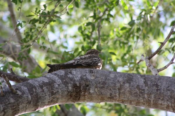 Querequeté adormilado sobre un árbol