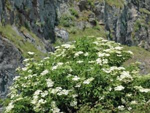 Gran planta con flores blancas