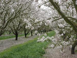Postal: Árboles frutales en flor