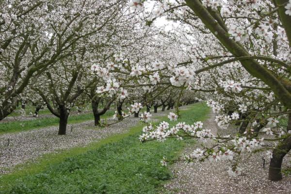 Árboles frutales en flor