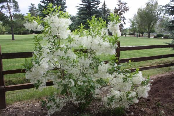 Bonita planta con flores blancas junto a una valla de madera