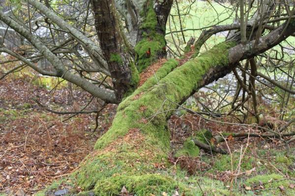 Un gran árbol cubierto de musgo
