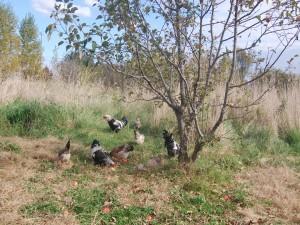 Postal: Gallinas picoteando las manzanas