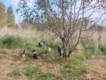 Gallinas picoteando las manzanas