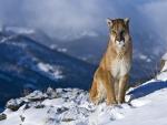 Bello puma andino sentado en la nieve