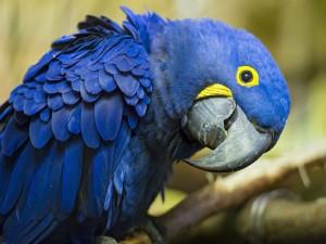 Postal: Perfil de un loro azul