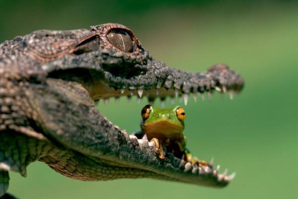 Un cocodrilo con una rana en la boca