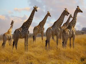 Manada de jirafas en África