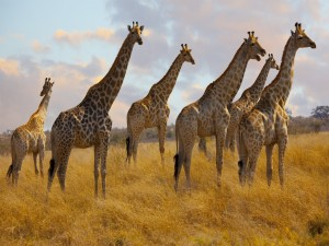 Postal: Manada de jirafas en África