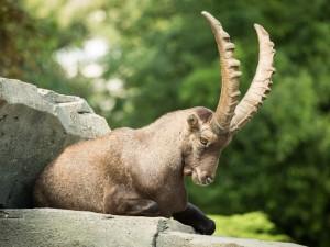 Postal: Una cabra montesa tumbada sobre una roca