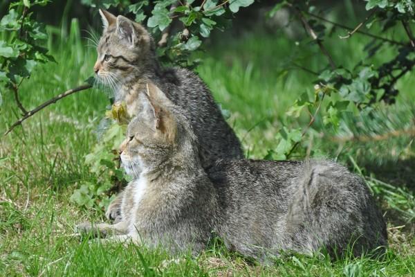 Dos gatos monteses descansando sobre la hierba