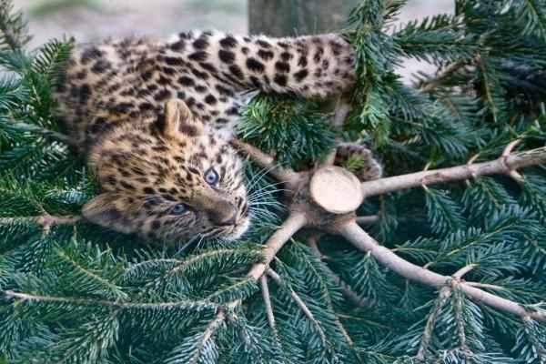 Cachorro de leopardo trepando a un abeto