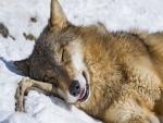 Un lobo dormido sobre la nieve