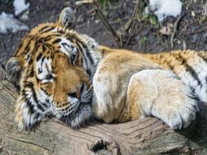 Un tigre de Amur descansando sobre un tronco