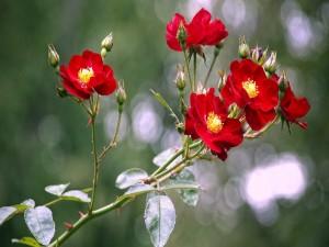 Ramas con rosas rojas y pimpollos