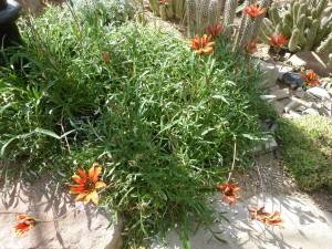 Cactus y flores naranjas