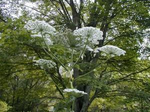 Planta muy alta con flores blancas