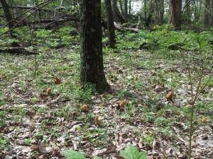 Colmenillas en el suelo del bosque