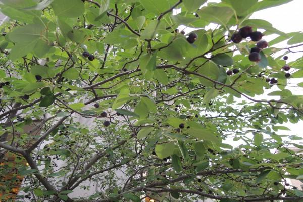 Árbol con pequeños frutos