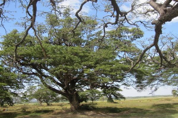 Árboles con gruesas ramas