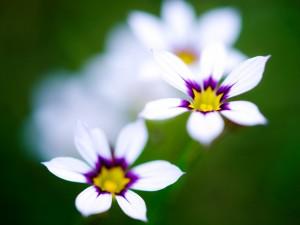 Bonitas flores de color blanco, púrpura y amarillo