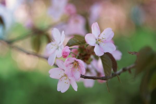 Pequeñas flores rosas en la rama de un árbol