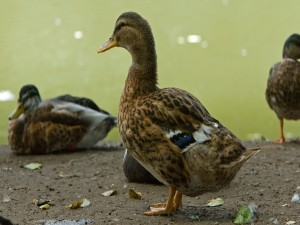 Varios patos en la orilla del lago