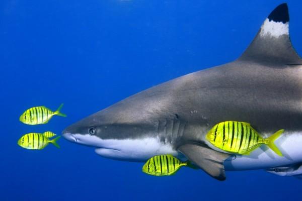 Peces amarillos nadando junto a un tiburón