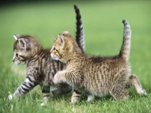 Dos gatitos caminando juntos