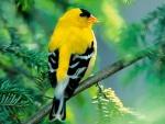 Un hermoso jilguero amarillo y negro