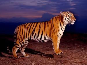 Un bello tigre de Bengala