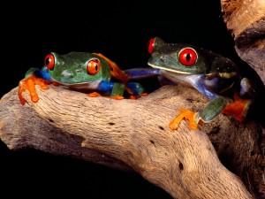 Postal: Dos ranas de colores sobre un tronco