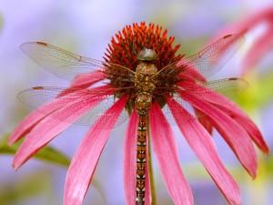 Libélula sobre una flor con pétalos rosas