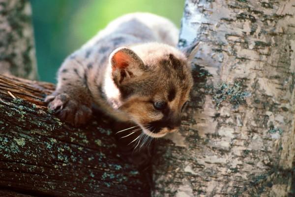 Un pequeño puma sobre un árbol
