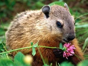 Postal: Marmota oliendo una flor