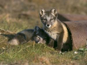 Dos pequeños zorros árticos