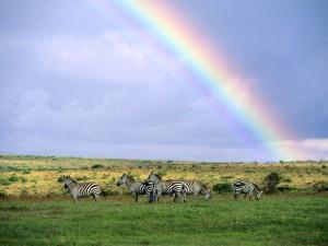 Cebras y un gran arco iris en Kenya