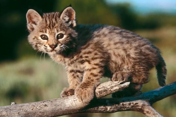 Un pequeño gato montés