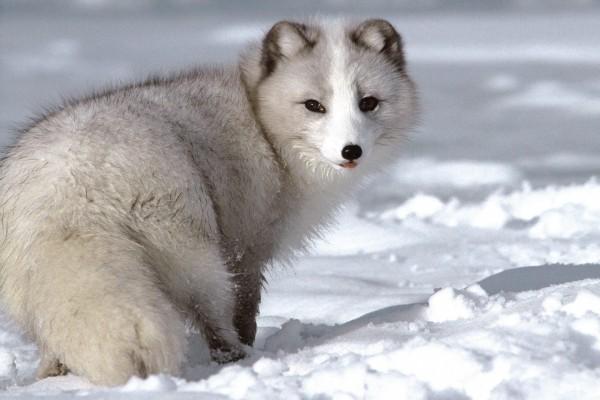 Un zorro ártico sobre la nieve
