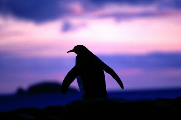 Un pingüino visto al anochecer